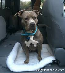 american pitbull terrier blue princess leia the blue nose pit bull terrier sitting on a dog bed