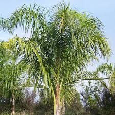 new zealand native plants palms grow your own tropical paradise
