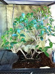 ca bonsai ficus bamboozoo