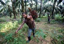 face planters malaysia palm planters face labor shortage as indonesia workers
