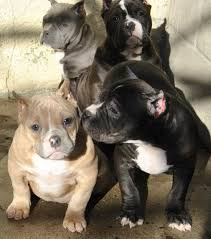 american pit bull terrier bully pit bull puppies and blue nose american bully pitbull pictures