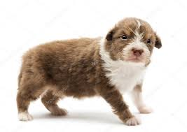 australian shepherd puppies 500 australian shepherd puppy 22 days old standing with an angry