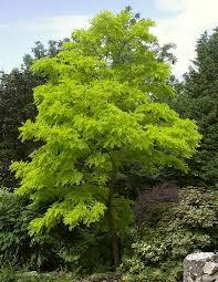 acacia false false acacia tree flower finder