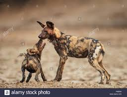 safari ltd african wild dog african wild dog lycaon pictus submissive begging by a pup mana
