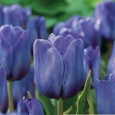 blue aimable darwin tulips let your garden grow pinterest