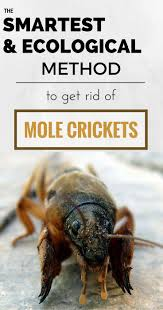 best 25 mole cricket ideas on pinterest insects insect