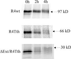 deletion mutant of fgfr4 induces onion like membrane structures in