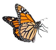 monarch butterfly clipart free bbcpersian7 collections