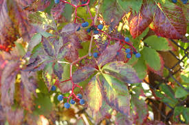 native climbing plants parthenocissus quinquefolia climbers