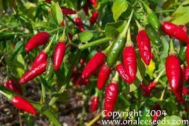 ornamental edible florida grove pepper seeds capsicum annuum