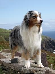 australian shepherd allergies australian shepherd dog breed guide preloved uk