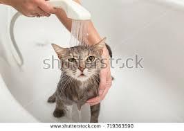 Cat In Bathtub Cat Bathtub Stock Images Royalty Free Images U0026 Vectors Shutterstock