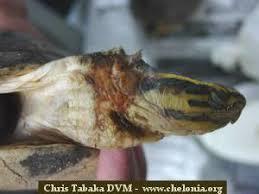 malayan box turtle cuora amboinensis u2013 darrell senneke and chris