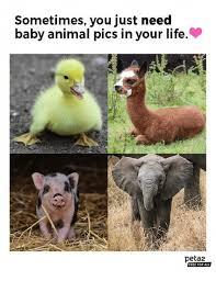 Baby Animal Memes - 25 best memes about calf roping calf roping memes