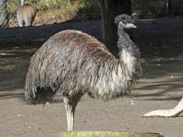 birds of the world large flightless birds