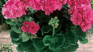 how to plant and care for geraniums in beds outdoor indoor