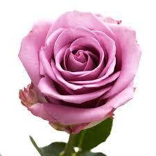 color roses globalrose fresh lavender color roses 250 stems cool water 250