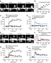 protein synthesis and neurotrophin dependent structural plasticity