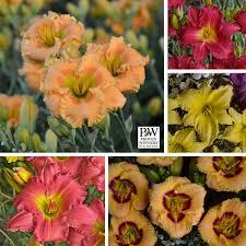 reblooming daylilies reblooming daylilies that aren t stella de oro perennial resource