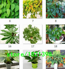 Indoor Vine Plants Popular Indoor Vine Plants Buy Cheap Indoor Vine Plants Lots From