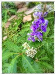 Backyard Fort Worth - garden plants backyard fort worth texas blue vitex chaste tree