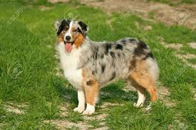 australian shepherd male names view topic high for dogs open and accepting chicken