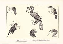 1903 bird print hornbills and toucans vintage antique home
