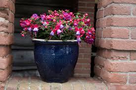 bella fuchsia susanna garden balcony plant flowers bella