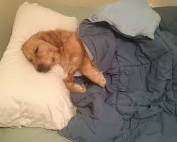 Dog In Bed Meme - couldn t find my dog walked in to see he had put himself in bed so
