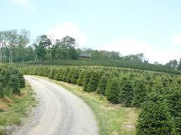 coastal evergreen tree farms north carolina fraser firs