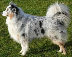 2 g rose australian shepherds australian shepherd dogs breeds pets