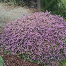 native australian ground cover plants coastal gardening groundcover plants for the sea coast north