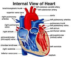 Heart Anatomy Arteries Basic Heart Anatomy U2013 Emt Guru