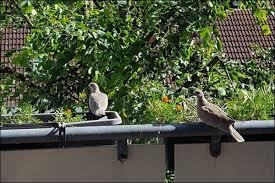 tauben auf dem balkon unsere vögelgäste sind flügge ist der balkon wieder uns