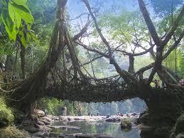 What Is Root Bridge Of Dry Spell U0026 Root Bridges During Winters In Cherrapunji