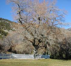 nevada native plants nevada u0027s big tree program nevada division of forestry