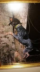 bluetick coonhound climbing tree 109034894 jpg