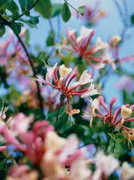 Fragrant Climbing Plant - climbing plants