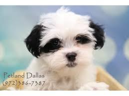 shi poo shih poo puppies in dallas visit petland in dallas texas