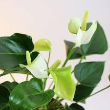 anthurium varieties http www pacflor com anthuriums html