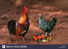 anaconda rooster and silver laced wyandotte hen in barnyard by