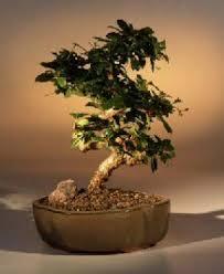indoor bonsai trees fukien tea indoor bonsai tree with curved trunk