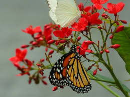 butterfly wallpaper nature wallpapers