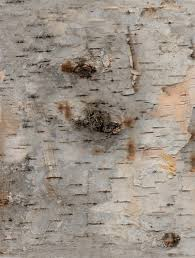birch wrapping paper birch bark printable