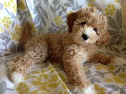 doodle doo labradoodles 447 best labradoodles images on puppies beautiful and