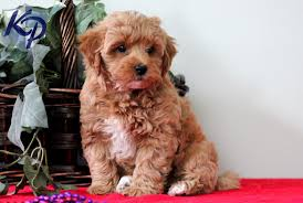 puppies for sale pa wilson havanese puppies for sale in pa keystone puppies