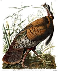 funny images of turkeys in thanksgiving 9 fun facts about turkeys audubon