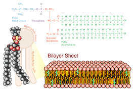 phospholipid bilayer read biology ck 12 foundation