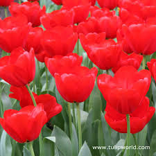 tulip world seadov red bulk tulips 500 crate 38008