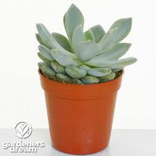 gardenersdream echeveria mixed house plants x 5 gardenersdream